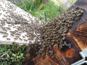 Schwarmeinlauf in die Bienenkugel