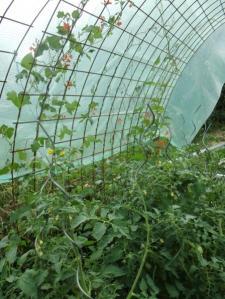 Bohnen-Tomaten-Tunnel