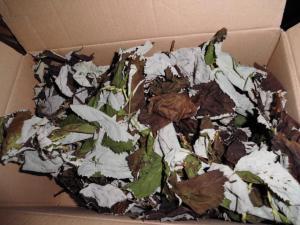 Brombeerblätter trocknen