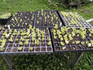 Jungpflanzen von Zuckerhut und Endivie