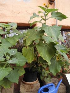 Yacon Pflanze mit Blüte im Topf