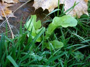 Salat in der Wiese