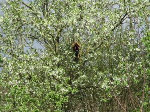Kirschpflaumenblüte