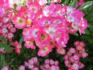 Biene in Mozartrose