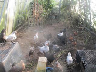 Junghühner im GWH2